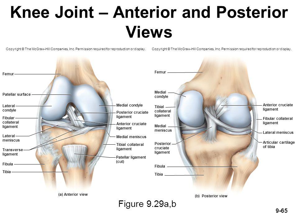 Anatomy of posterior knee