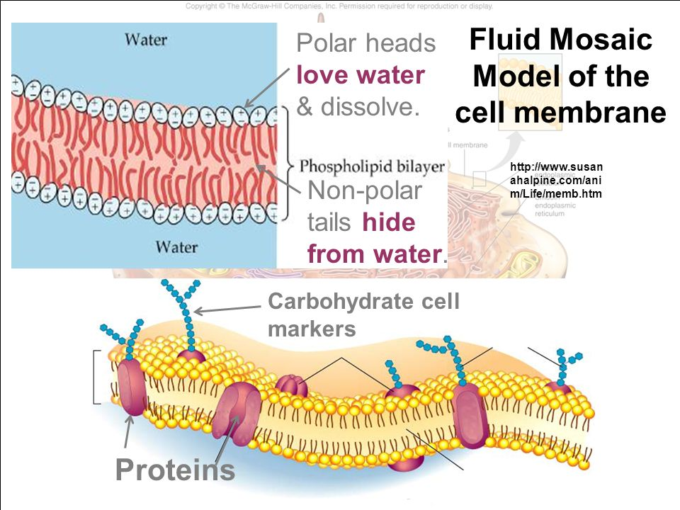 Famous Anatomy Of Cell Membrane Ideas - Anatomy And Physiology ...