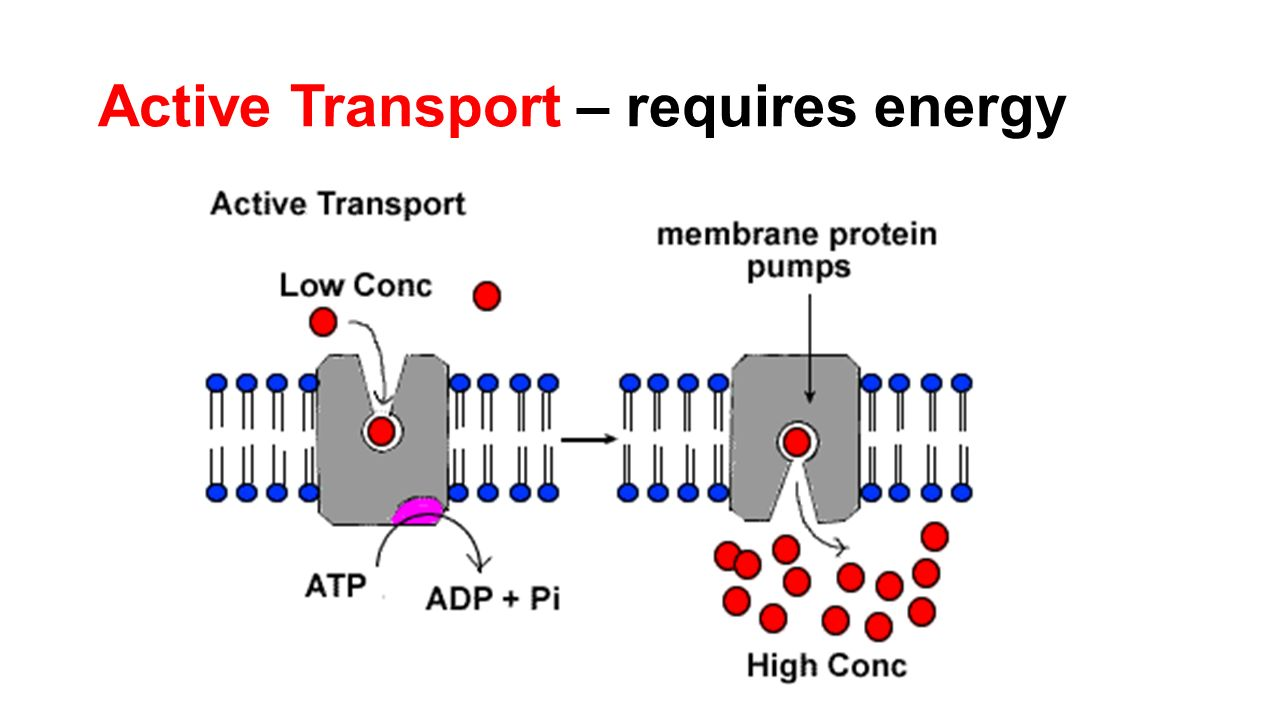 active transport Active transport 3806 photo by: paweł burgiel active transport is the movement  of molecules up their concentration gradient , using energy.