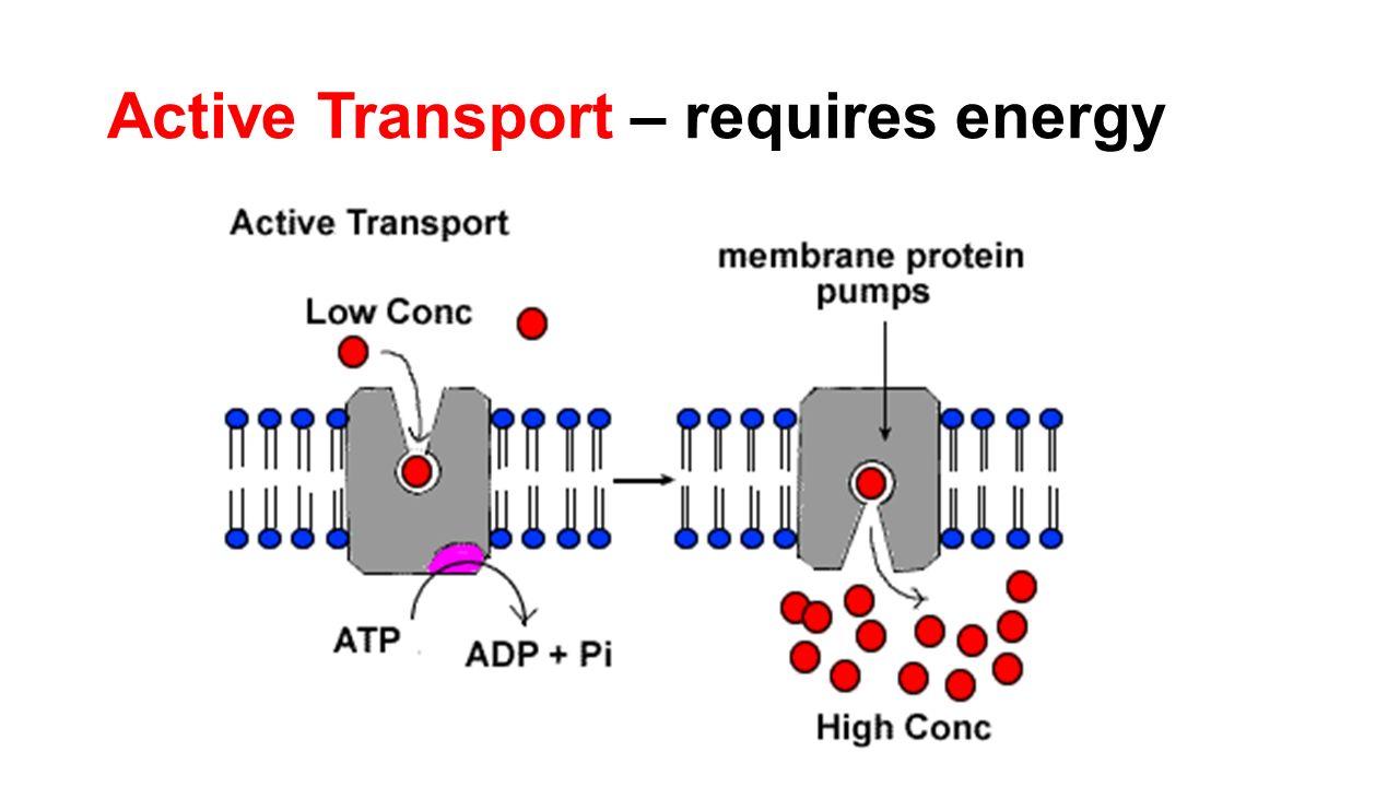Active transport vs passive transport venn diagram pictures to pin active transport diagram labeled pooptronica