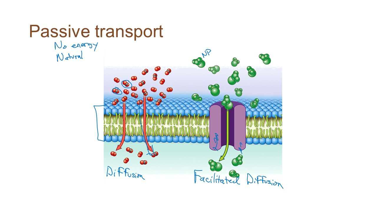 other modes of transport facilitated diffusion and active