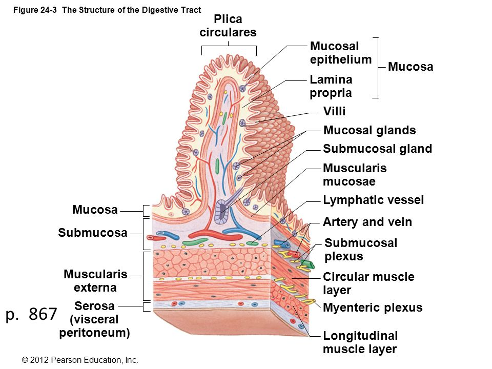 figure 24-1 the components of the digestive system - ppt ... mucosa diagram