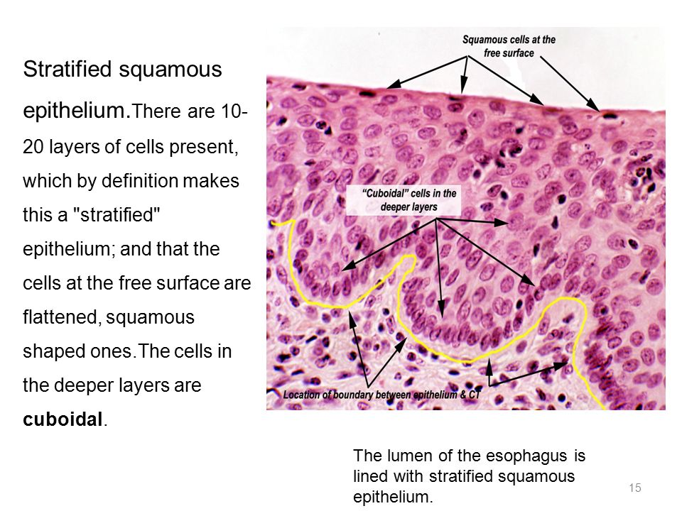 Histology Mlhs 201 Lecture 4 Ppt Video Online Download