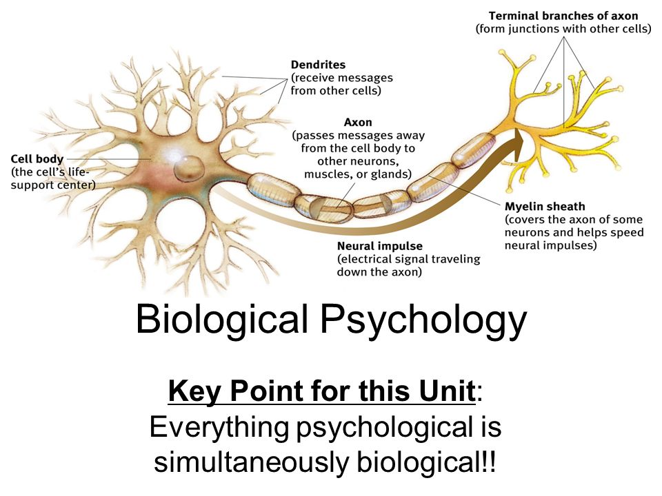 biological psychological functions A fundamental theory of biopsychology is that human and non-human animals share enough behavioral and biological similarities to allow for the extrapolation of acquired data across species this assumption is one vital bridge between biopsychology and other closely related fields of psychology such as evolutionary psychology and comparative.