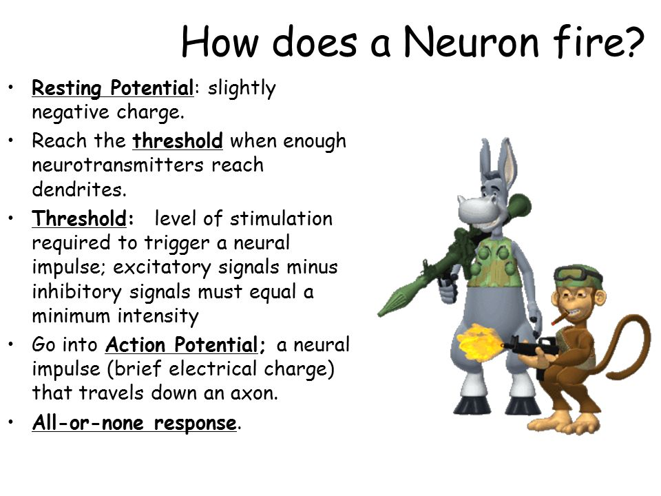 how an impulse travels down a neuron The brain controls your movement by sending nerve impulses down the nerves to the place in the body where movement is desired the eye-foot reaction time is longer than the eye-hand reaction time due to the extra distance the nerve impulse has to travel.
