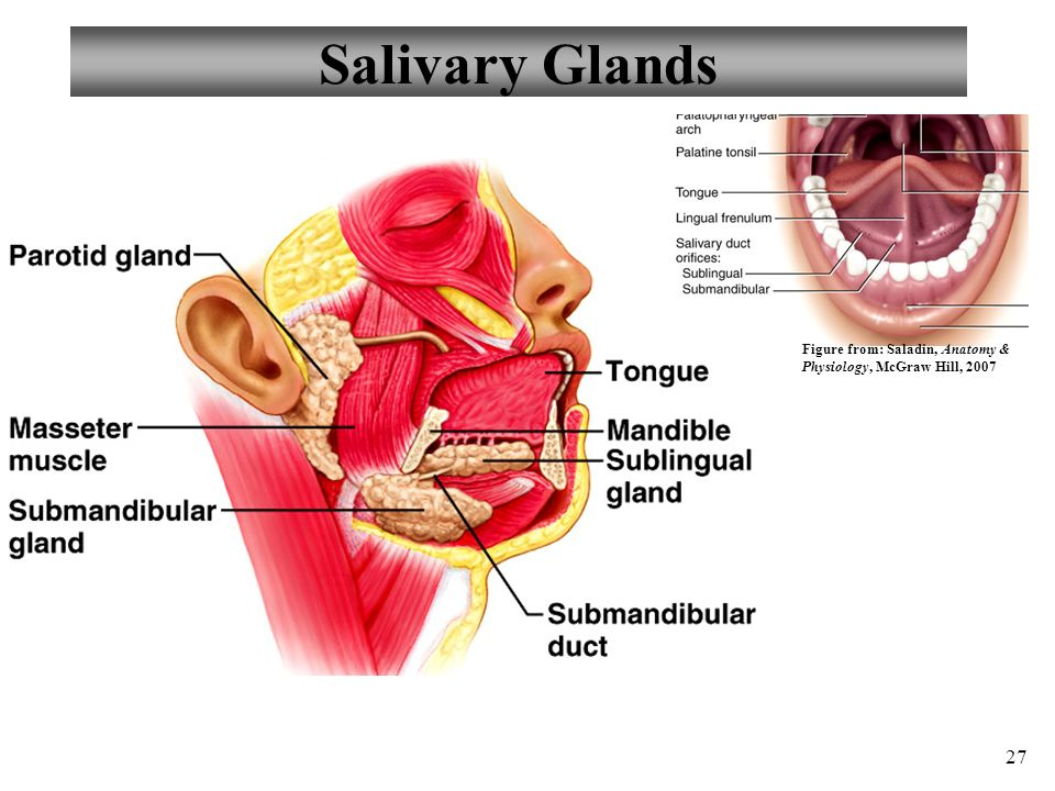 Hermosa Salivary Glands Anatomy And Physiology Bandera - Anatomía de ...