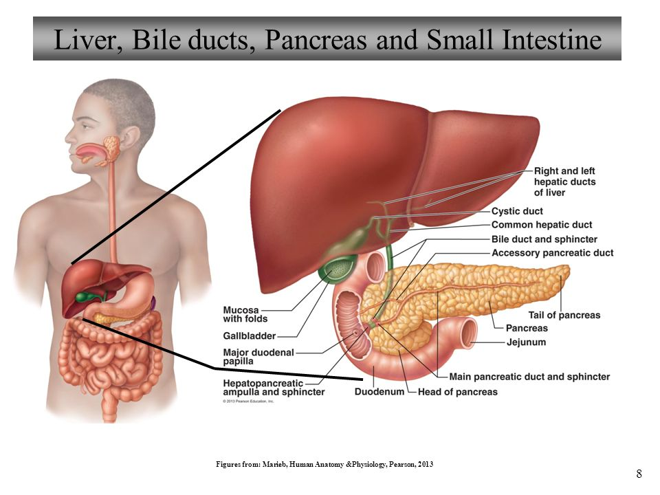 Anatomy of the liver and gallbladder