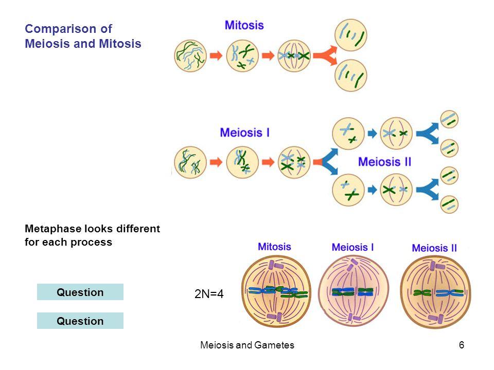 Metaphase Mitosis 2n=4