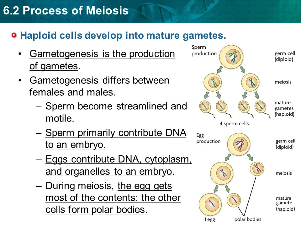 Beginning process for producing eggs and sperm how