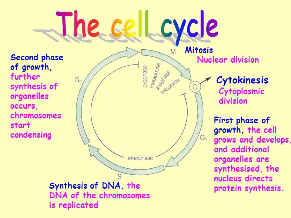 The cell cycle Cytokinesis Mitosis - ppt video online download