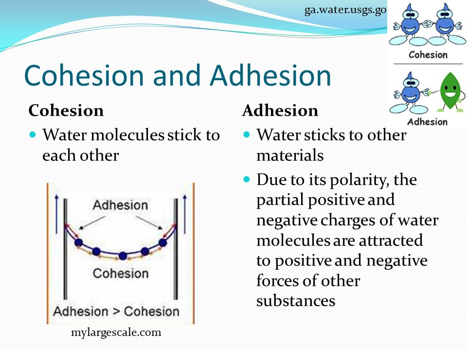 Cohesion and Adhesion Cohesion Water molecules stick to each other