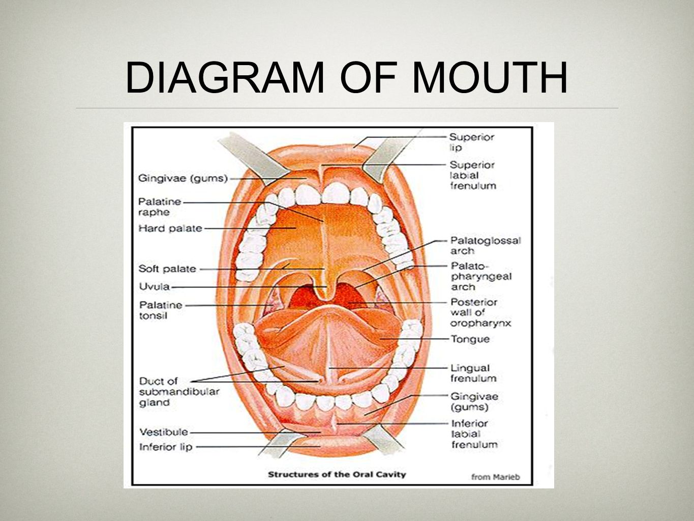 diagram cows mouth diagram full version hd quality mouth. Black Bedroom Furniture Sets. Home Design Ideas