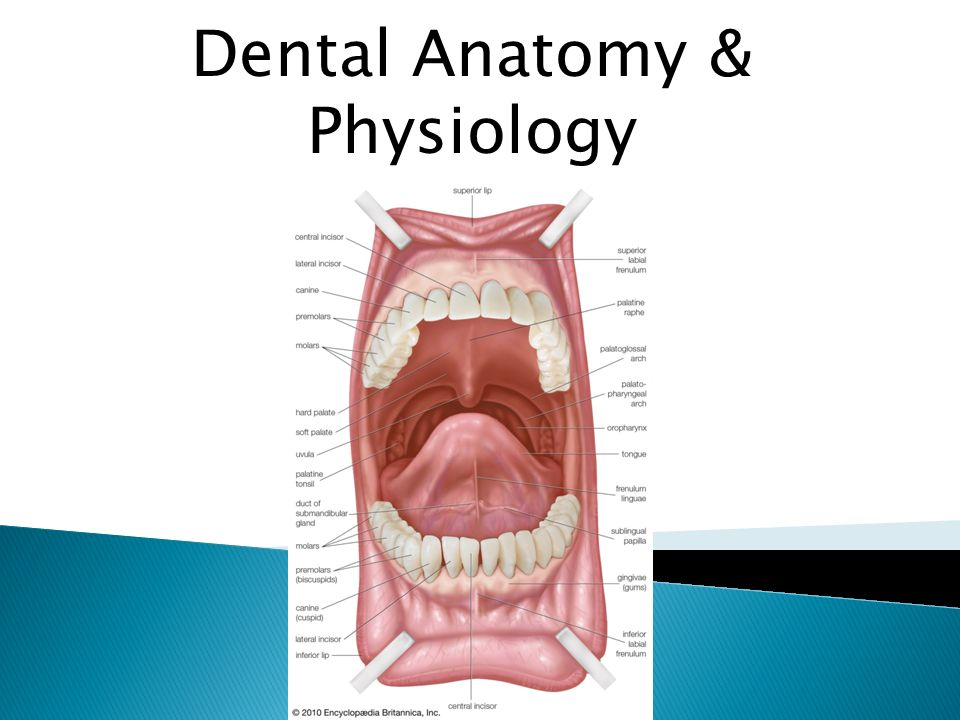 Dental Anatomy & Physiology - ppt download
