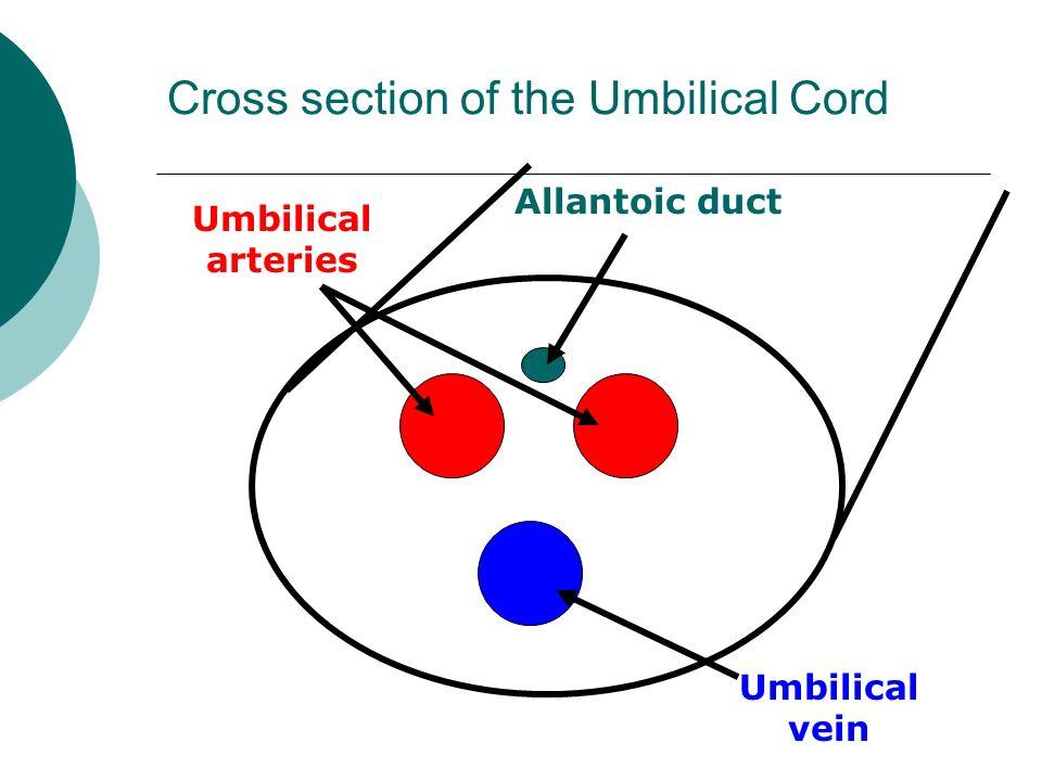 Umbilical Cord Cross Section Diagram | Olivero