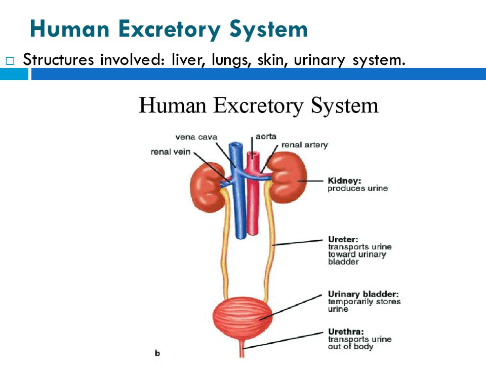 excretory system Members: bacolod, jonna sanchez, kenohanipah, jenelle introduction • as a normal consequence of being alive, every cell in the bod.