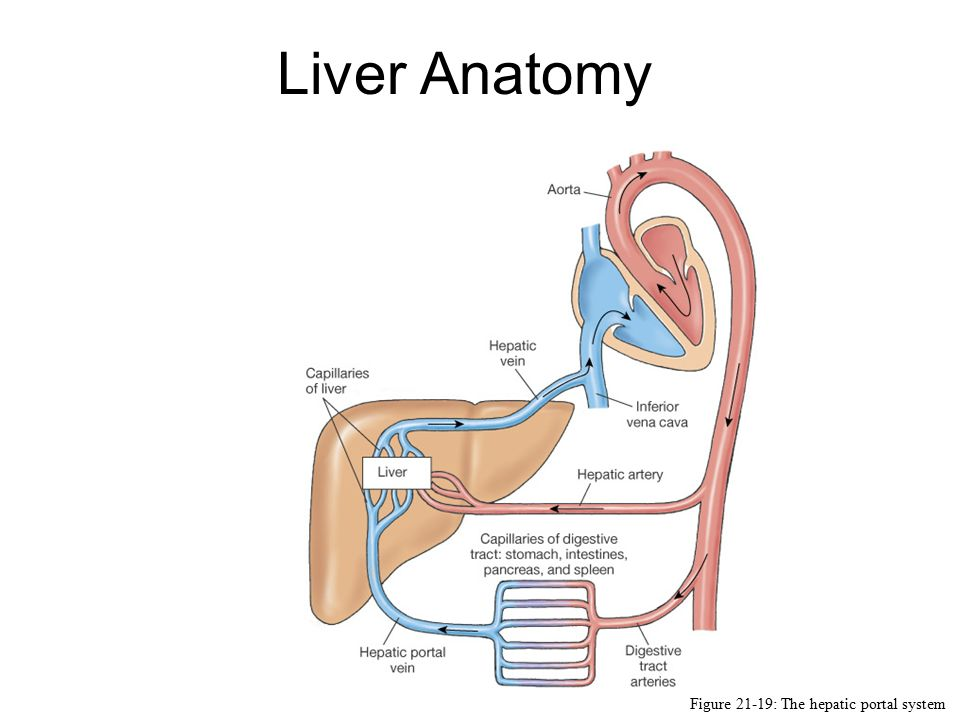 Liver Anatomy Figure 21 19 The Hepatic Portal System Ppt Video