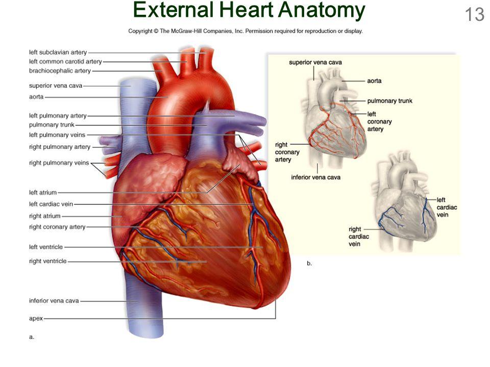 Gross anatomy of heart