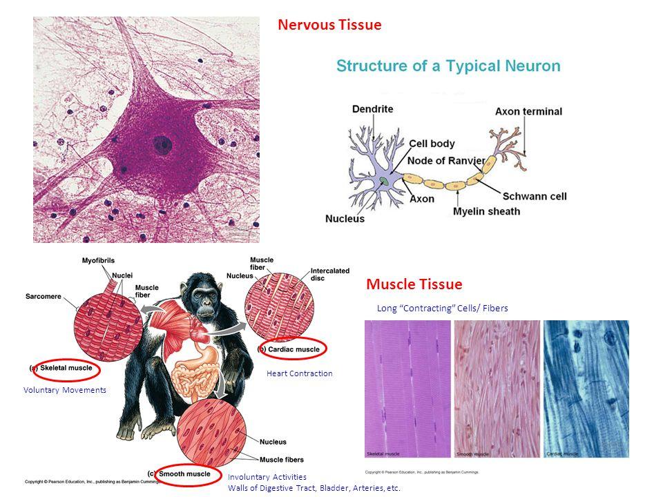 unit 12 animal anatomy and physiology introduction  digestive  circulatory  and respiratory
