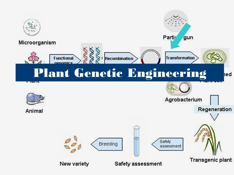 genetic engineering animal and plant Pest-resistant and extended life this genetic modification is mainly executed in plants the animal or plant 's genes (pros and cons of genetic engineering.
