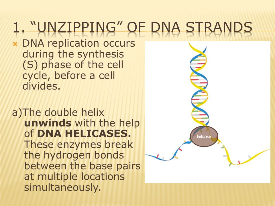Replication of dna ppt download for Explain how dna serves as its own template during replication