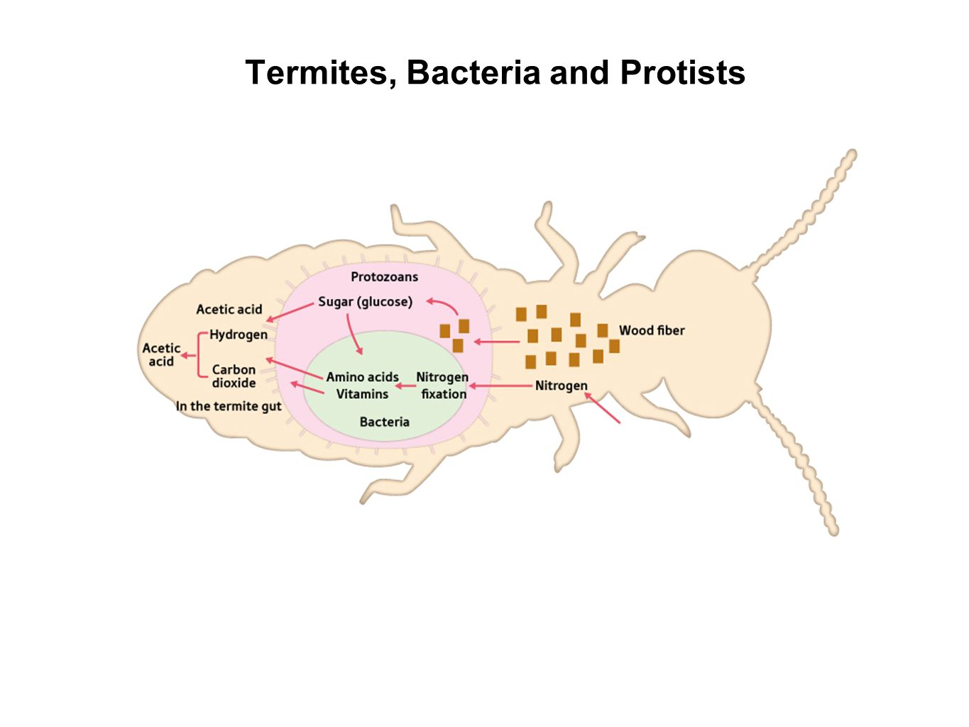 protozoa and termites symbiotic relationship in humans