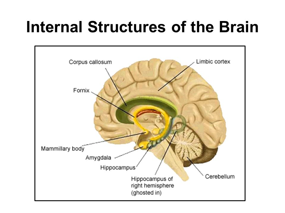 Outline brain anatomy structures and functions ppt video online internal structures of the brain 11 internal structures ccuart Images