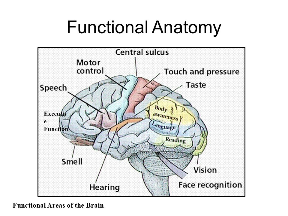Functional anatomy of brain