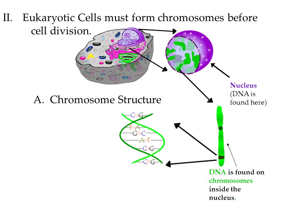 Eukaryotic cells in organism Essay