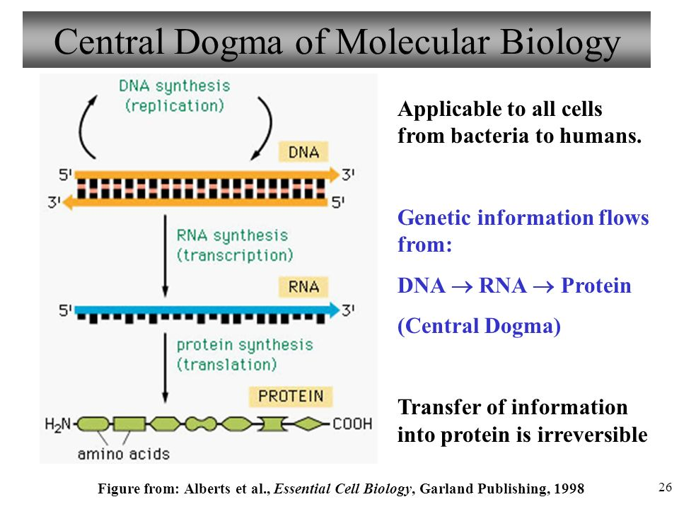 Chapter 3 DNA & RNA Protein Synthesis Lecture 6 - ppt video online download