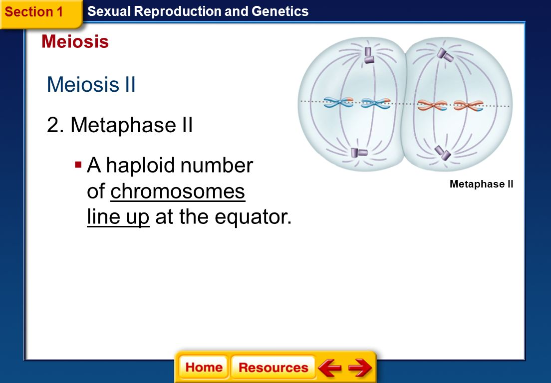 A haploid number of chromosomes