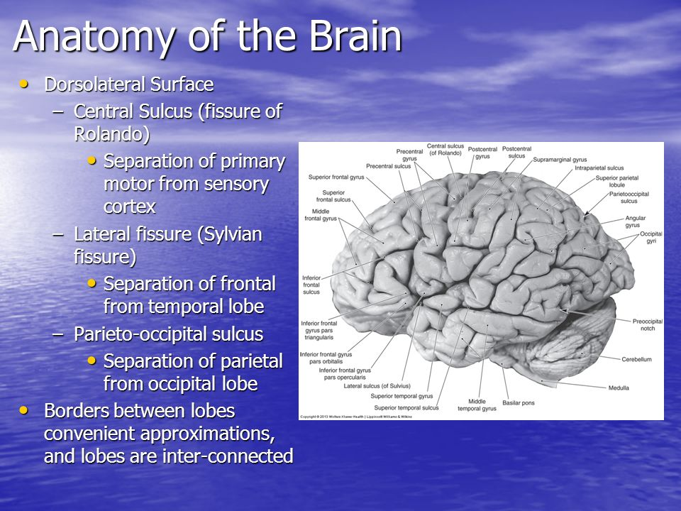 Brain gross anatomy
