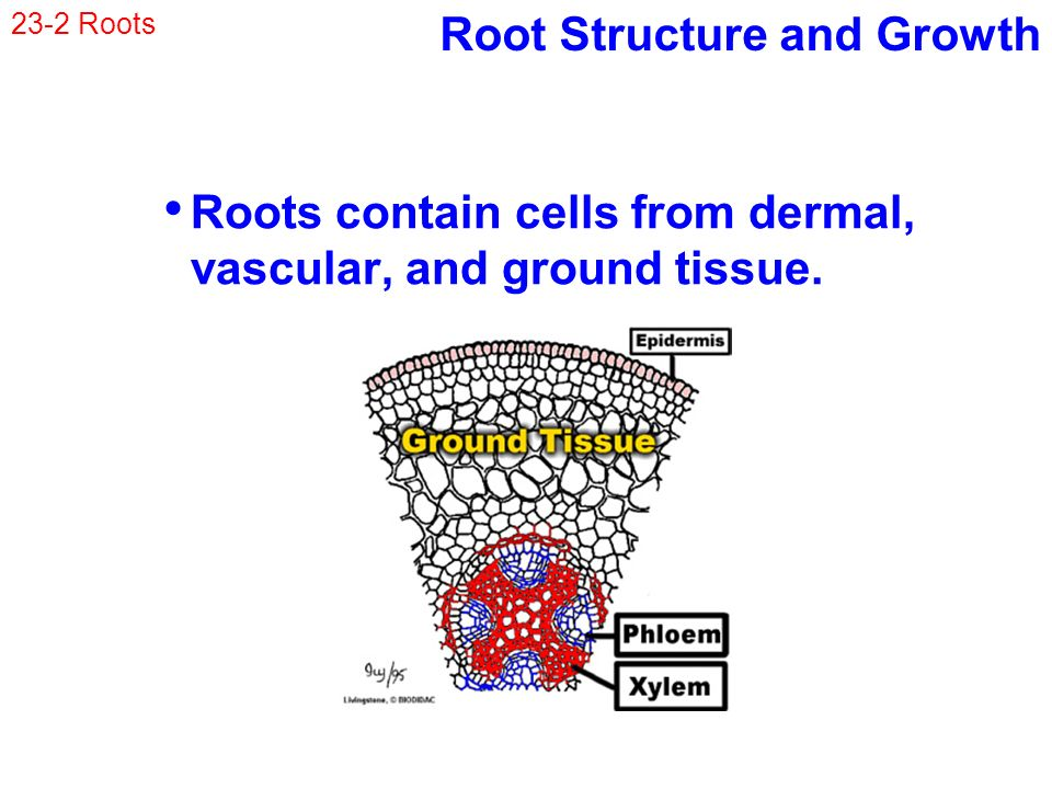 root tissue map cellular structure Structure and function of the root cap morio iijima1,  like other root tissues, rcs are produced by a part of the root apical meristem  in the shoot apical meristem elongate only towards the base of lateral organs and stem tissues, cells in the proximal part of the root apical meristem produce cells in the direction of the root base.