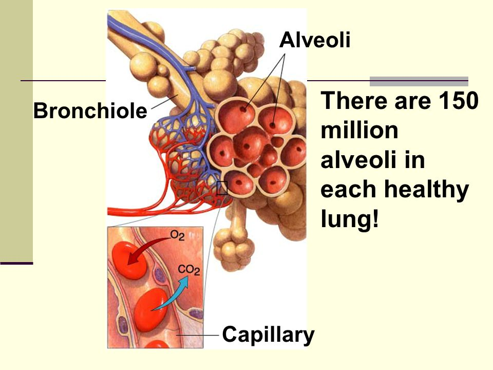 alveoli in each healthy lung!