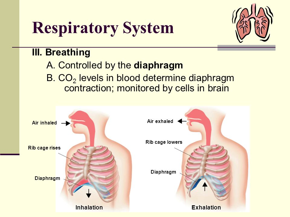 Respiratory System III. Breathing A. Controlled by the diaphragm