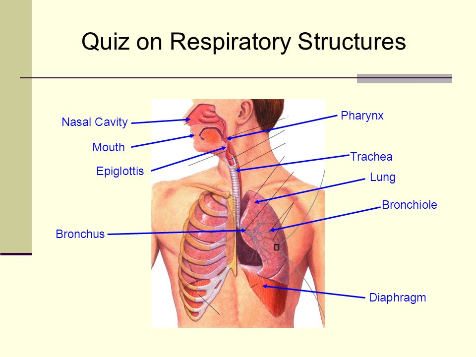 Quiz on Respiratory Structures