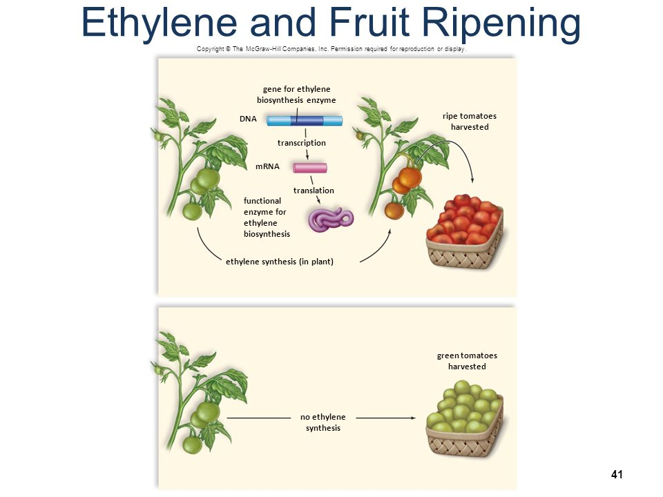 biology green fruit ripening experiment Arrive in the fruit ripening warehouses green, hard and inedible  the biological  factors involved in food technology processes are  in the sixth chapter, the  experiment carried out with the application of the olfo is.
