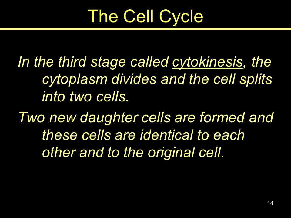 The Cell Cycle In the third stage called cytokinesis, the cytoplasm divides and the cell splits into two cells.