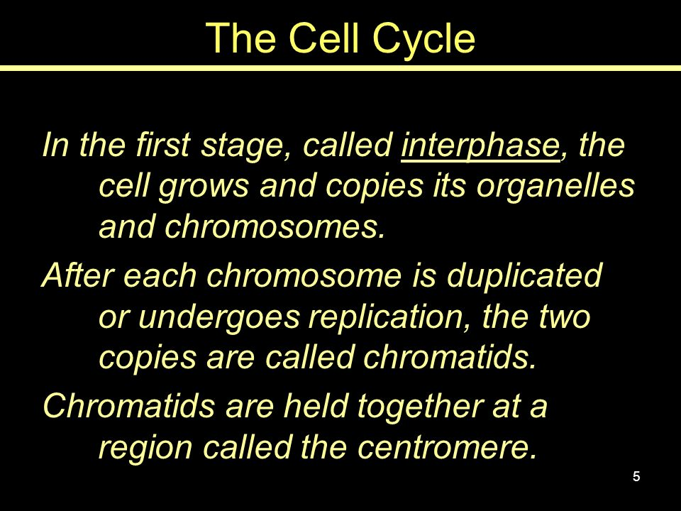 The Cell Cycle In the first stage, called interphase, the cell grows and copies its organelles and chromosomes.