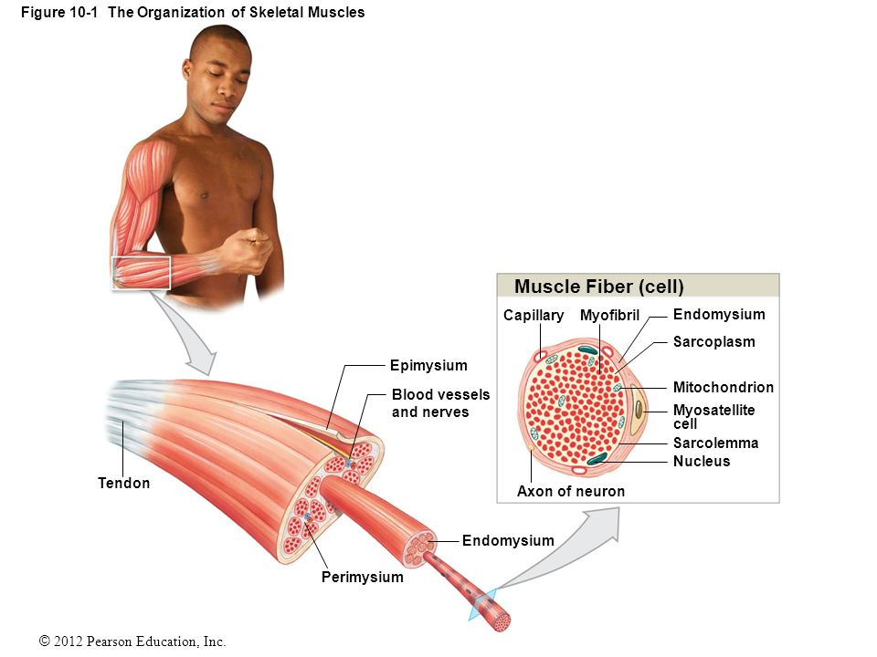 an introduction to muscle tissue ppt download