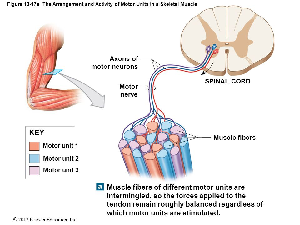 muscle tone and motor unit The motor system examination the motor system muscle tone and muscle strength upper motor neuron they are caused by denervation of whole motor units.