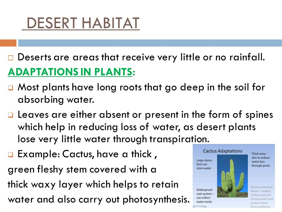 DESERT HABITAT Deserts are areas that receive very little or no rainfall. ADAPTATIONS IN PLANTS: