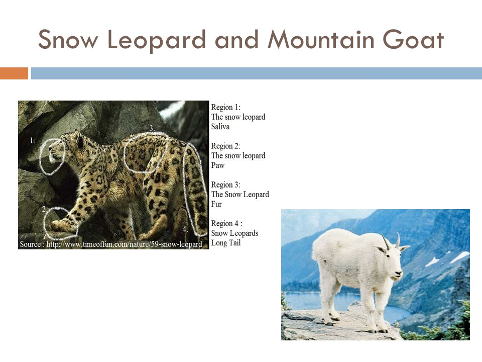 Snow Leopard and Mountain Goat