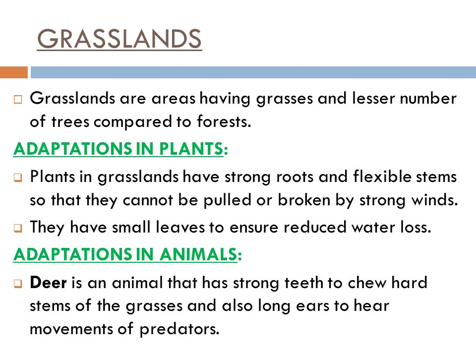 GRASSLANDS Grasslands are areas having grasses and lesser number of trees compared to forests. ADAPTATIONS IN PLANTS: