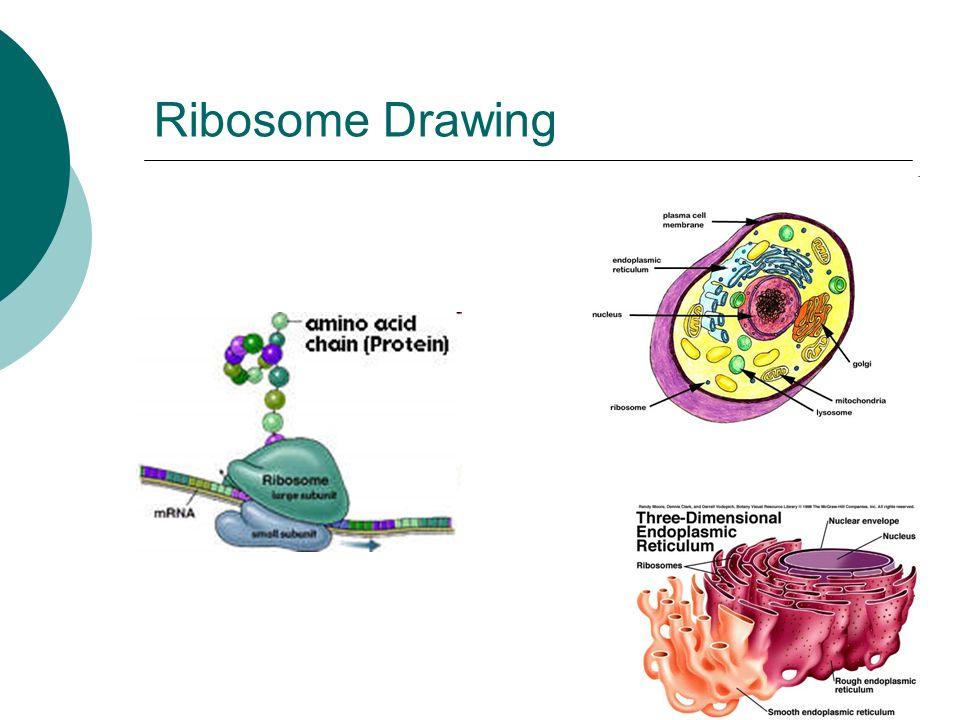 Ribosomes Drawing
