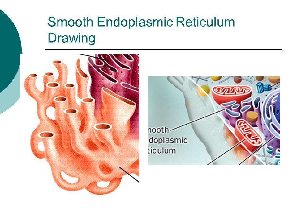 endoplasmic reticulum drawing - photo #14