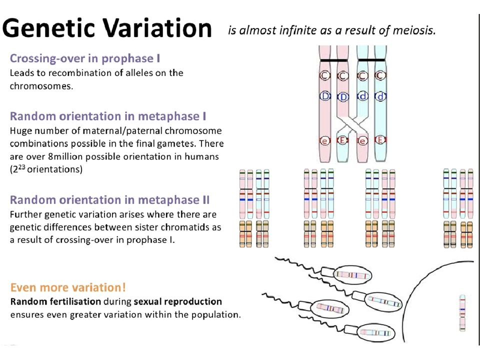 meiosis and genetic variation Meiosis and mendel study guide (ch6) genetic variation explain how crossing over during meiosis increases genetic diversity 3 how does genetic diversity relate to mendel's law of independent assortment 4 what is.