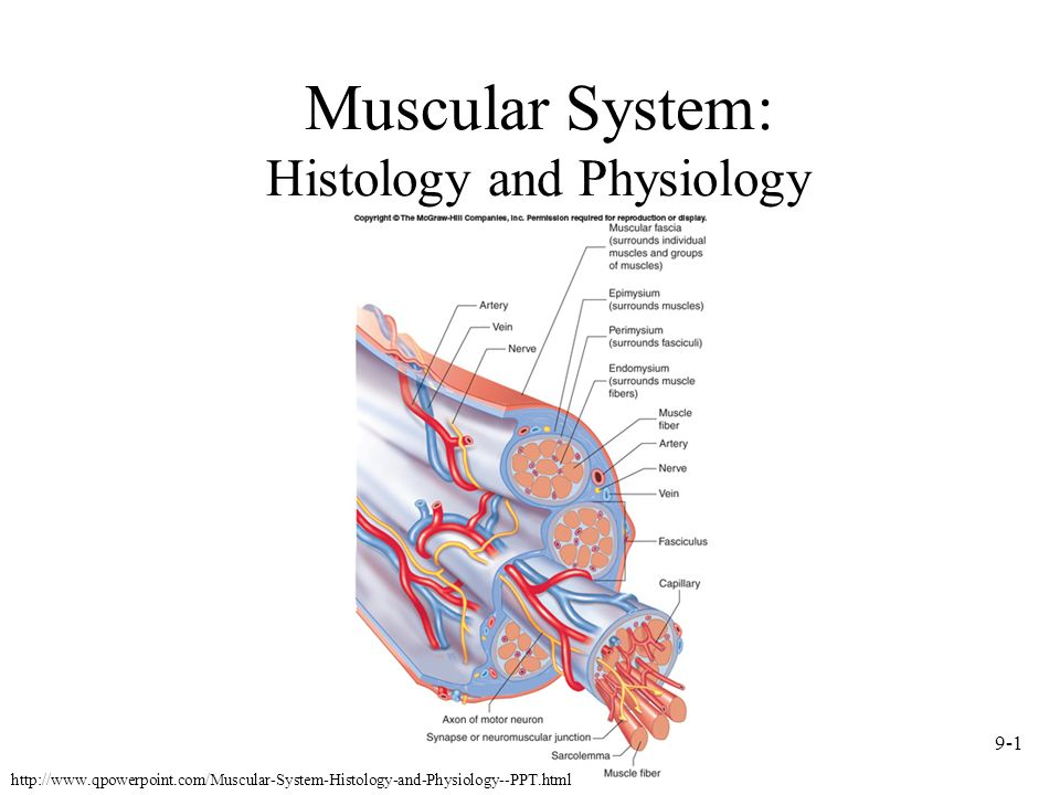 Physiology Presentation on Bone Growth, Muscular Movement, and Nerve Transmission