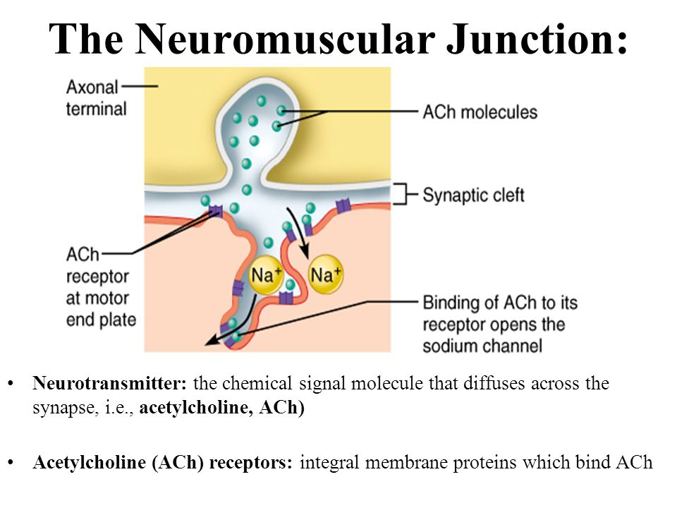 The neuromuscular junction