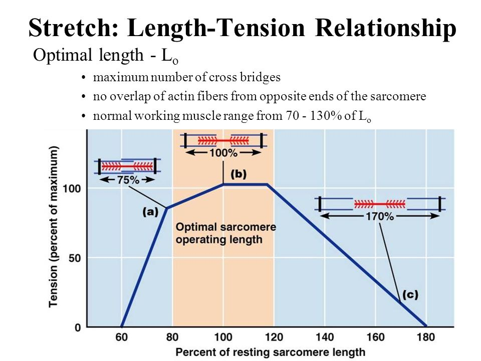 length and tension relationship Dear professor johannessen, if you get the time, could you please make a video explaining length-tension relationship in the smooth muscle thank you very.