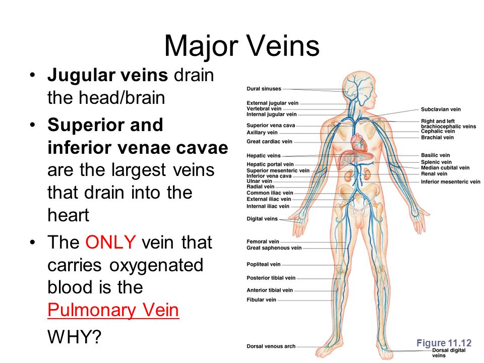 Where The Mind Is Biggest The Heart The Senses: Human Heart And Blood Vessels